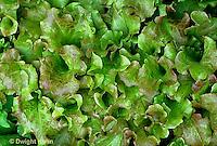 HS21-078x  Lettuce - Vulcan variety - leaf lettuce