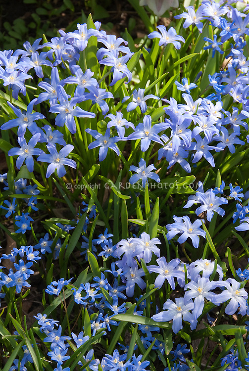 Blue flowers of Chionodoxa lucilae in spring bloom