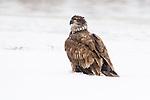 Bald Eagle (Haliaeetus leucocephalus) two year old sub-adult in snow, Lower Klamath National Wildlife Refuge, California