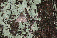 Eichen-Prozessionsspinner, Prozessionsspinner, Eichenprozessionsspinner, Männchen, Thaumetopoea processionea, Oak Processionary, oak processionary moth, male, La Processionnaire du chêne, Zahnspinner, Notodontidae, prominents