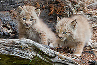 Pair of Canada Lynx kittens on an old log - CA