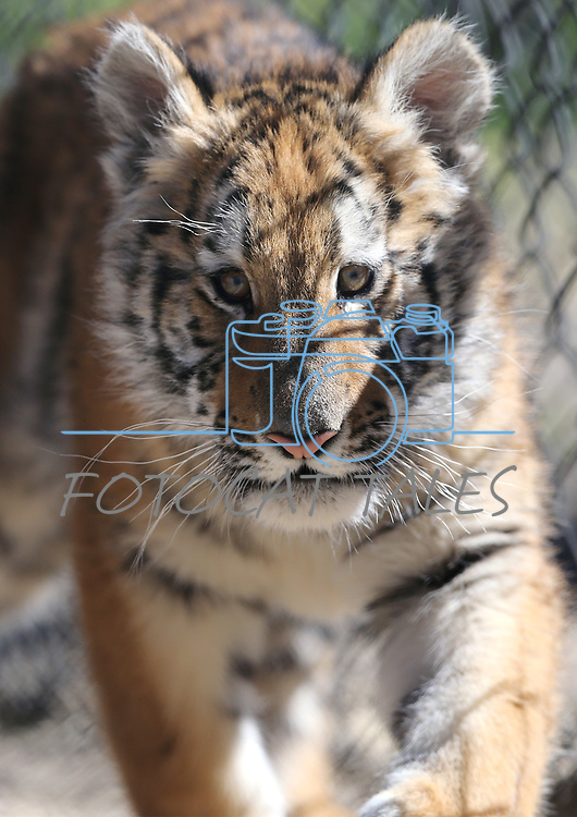 4-month-old Poppy explores her new home at Animal Ark Wildlife Sanctuary, north of Reno, Nev., on Monday, May 1, 2017. <br /> Photo by Cathleen Allison/Nevada Photo Source