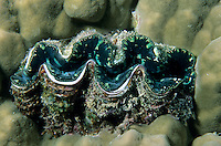 Giant Clam sitting on a soft bed of coral, Snark Forest, Noumea Lagoon, New Caledonia.