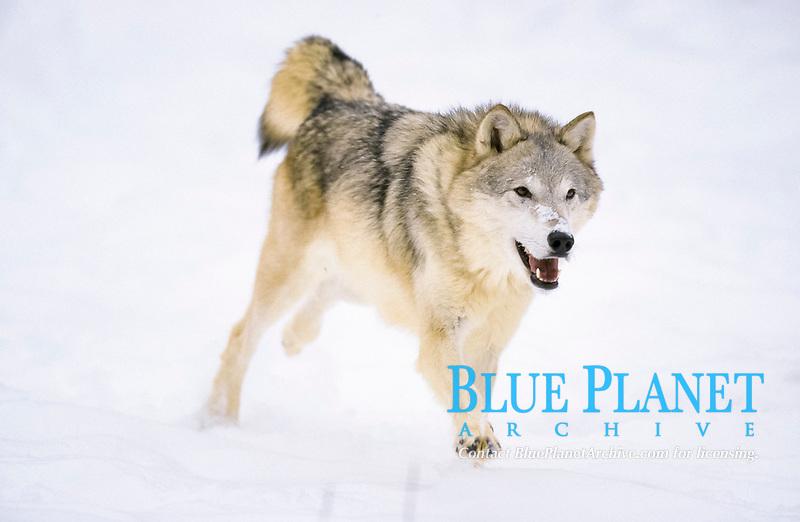 Grey Wolf (Canis lupus), running, snow
