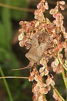 Lederwanze, saugt an Ampfer, Saumwanze, Leder-Wanze, Saum-Wanze, Coreus marginatus, Mesocerus marginatus, squash bug, Randwanzen, Lederwanzen, Coreidae, leaf-footed bugs