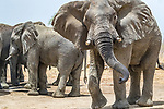 African bush elephants (Loxodonta africana), Zakouma National Park, Chad<br /> <br /> Canon EOS-1D X, EF100-400mm f/4.5-5.6L IS II USM lens, f/11 for 1/1250 second, ISO 2500