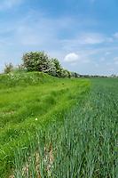 Field margin / buffer strip on outside of wheat field - Lincolnshire, June