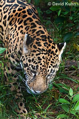 0615-1102  Jaguar, Belize, Panthera onca  © David Kuhn/Dwight Kuhn Photography