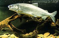 Ostsee-Schnäpel, Ostseeschnäpel, Schnäpel, Coregonus lavaretus balticus, Coregonus maraena, Renke, Maräne, Renken, Maränen, Baltic Houting, whitefishes, lake whitefishes, coregonines, maraene