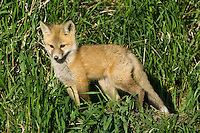 Red Fox Kit standing in the tall grass in the evening sun