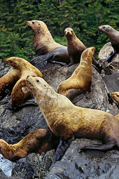 Northern or Steller's Sea Lions (Eumetopias jubatus) hauled out of coastal rocks.  Pacific Northwest.