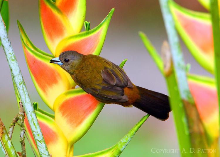 Female Passerini's tanager