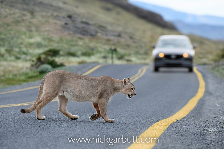 Young male puma (Puma concolor) (southern subspecies Puma concolor puma) (in N. America, cougar or mountain lion) crossing a public road. Private ranch land (Estancia Amarga) on the outskirts of Torres del Paine National Park, Patagonia, Chile.