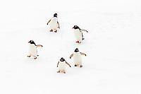 gentoo penguin, Pygoscelis papua, adult, walking on fast ice, Enterprise Island, Antarctica, Southern Ocean