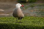 A Heermann's gull stands on the beach in La Jolla, California.