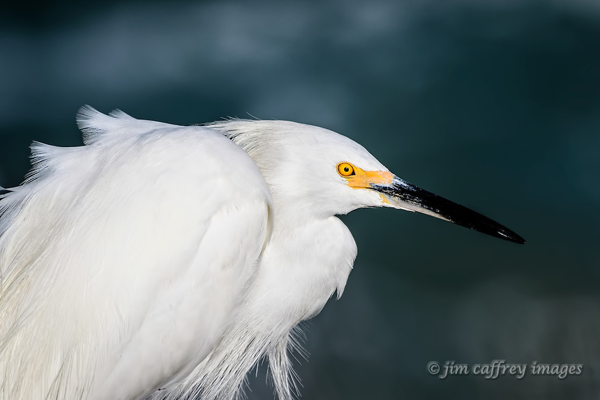 A portrait of a snowy Egret made at Bolsa Chica Ecological Preserve in Huntington Beach, California.