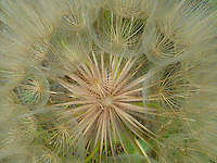Can't seem to find what this is. It looks very much like a dandelion gone to seed but it isn't. If anyone does know please contact me.