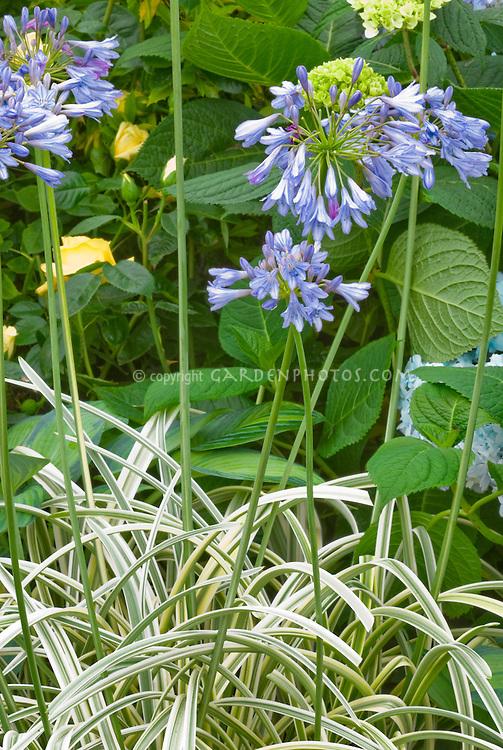 Agapanthus 'Summer Sky' (Variegated) blue flowers summer bulb