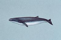 pygmy right whale, Caperea marginata ( illustration )