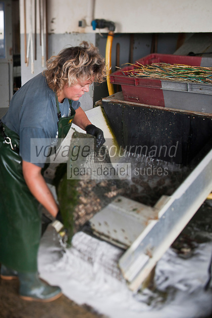 Europe/France/Poitou-Charentes/17/Charente-Maritime/Ile de Ré/Ars-en-Ré: l'Huitrière de Ré, ferme ostréicole de Tony Berthelot - Lavage des Huîtres