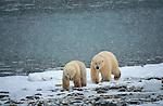 Polar bears in snow storm, Canada