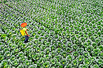 Cabbage farmers tend to their patch by Abdul Momin