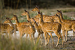 Herd of spotted deer or chital (Axis axis) watching a tigress walk through the edge of a meadow. Bandhavgarh National Park, Madhya Pradesh, India.