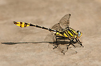 334250001 a wild male tamualipan clubtail gomphus gonzalezi perches on the ground along the rio grande river near the naba facility in the lower rio grande valley in south texas