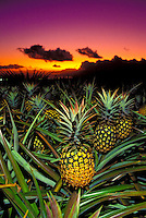 Pineapples at sunset in Kula, Maui.