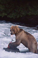 609682145 a wild adult brown bear ursus arctos stands in the river eating a salmon in katmai national park alaska