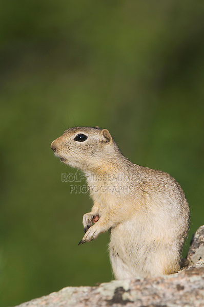 Wyoming Ground Squirrel,Spermophilus elegans,adult on rock,Rocky Mountain National Park, Colorado, USA, June 2007