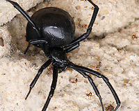 Latrodectus mactans, the (southern) Black widow, are well known for the distinctive black and red coloring of the female, and for the fact that she will occasionally eat her mate after reproduction.