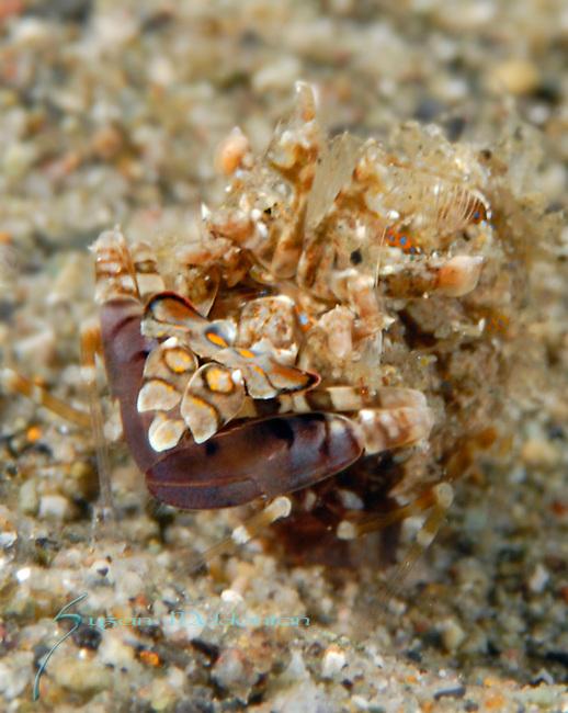 Unusual Harlequin Shrimp