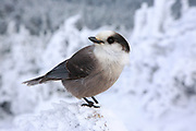 A gray jay on the summit of Mount Liberty in the White Mountains, New Hampshire during the winter months.