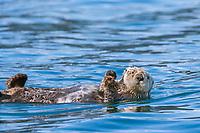 Sea otter, Port Wells, Prince William Sound, Alaska.