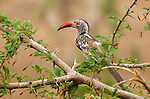"""Red-billed hornbill (Tockus erythrorhynchus), also known as the """"flying chili pepper.""""<br /> <br /> Zambezi National Park, Zimbabwe"""