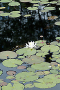 Water Lily during the summer months in a New Hampshire USA pond .  This plant  is part of the  Water-Liiy family .Notes:
