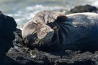 A shy monk seal at Ka'ena Point, O'ahu.