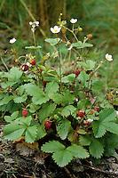 Wald-Erdbeere, Walderdbeere, Erdbeere, Früchte, Fragaria vesca, Wild Strawberry
