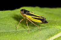 Wiesenschmuckzikade, Wiesen-Schmuckzikade, Schmuckzikade, Evacanthus interruptus, Zwergzikade, Zwergzikaden, Cicadellidae, Leafhopper