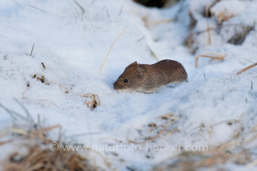 Rötelmaus im Winter bei Schnee, Rötel-Maus, Waldwühlmaus, Wald-Wühlmaus, Wühlmaus, Maus, Clethrionomys glareolus, Myodes glareolus, bank vole