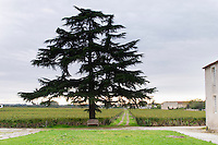 Vineyard and tree. Chateau Nairac, Barsac, Sauternes, Bordeaux, France