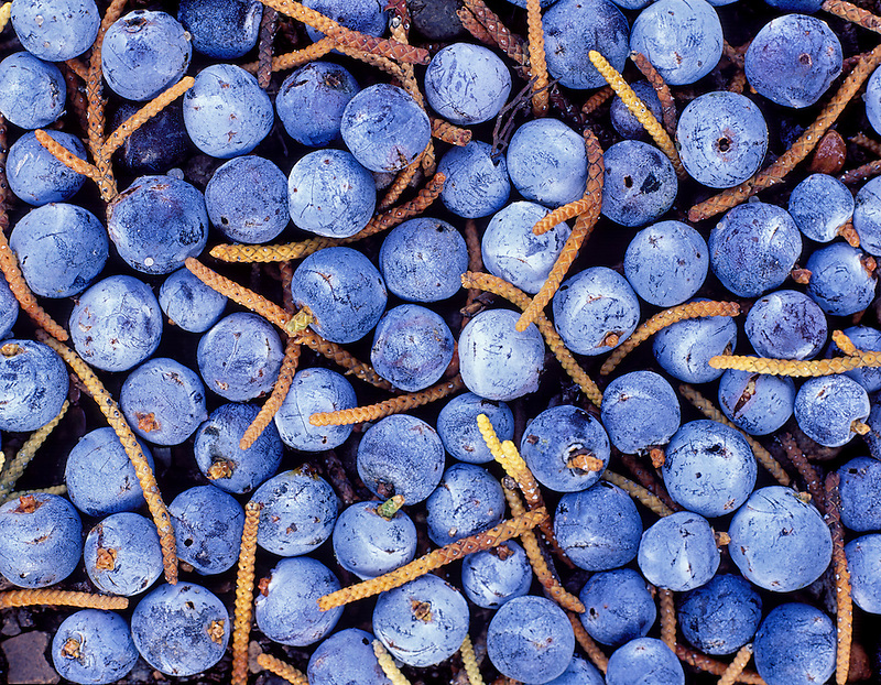 V00262M.tiff   Berries and tree stems from Western Juniper trees. Freemont National Forest, Oregon