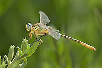333920012 a wild male brimstone clubtail dragonfly stylurus intricatus perches on an arroweed plant near el centro in imperial county california united states