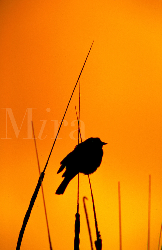 Red winged black bird perched in cattail at sunrise