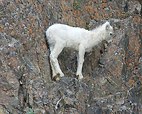 A Dall Sheep lamb standing alone on a rock cliff in Alaska.