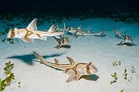 Group of six juvenile Port Jackson sharks in nursury, Heterodontus portus-jacksoni, Albany, Western Australia, Southern Ocean