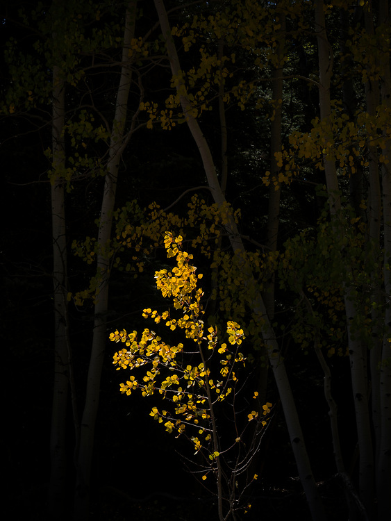 A single golden quaking aspen (Populus tremuloides) picks up late afternoon sun in the Kaibab National Forest, Arizona, USA