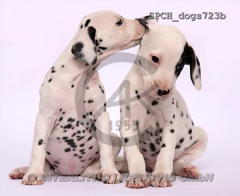 Xavier, ANIMALS, dogs, photos(SPCHdogs723b,#A#) Hunde, perros