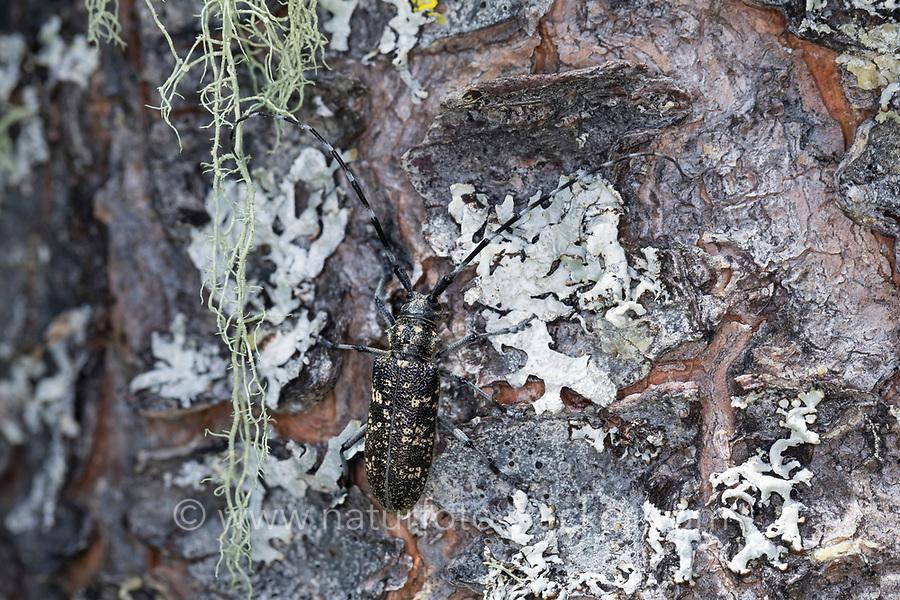 Schusterbock, Einfarbiger Fichtenbock, Einfarbiger Langhornbock, Monochamus sutor, small white marmorated longhorn beetle, small white-marmorated longhorn beetle, small white-marmorated longicorn, Monochame